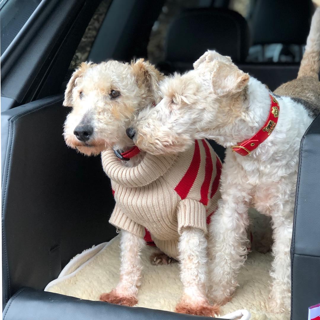 Ich freue mich schon auf morgen, da kommt der Pepi zu uns ♥️. Irgend so ein Arsch hat ihn völlig verwahrlost , im Januar, bei Eiseskälte , im Wald angebunden. Wenn er sich mit Bruni gut versteht ( und im Moment sieht es ganz gut aus ) dann bleibt er bei uns. Hoffentlich klappt alles, das wäre so schön. #foxilove #foxterrier #foxinternational #bestbuddies #tierschutz #seniorenhunde #zweiterfrühling #dogsofinstagram #wiredhairfoxterrier