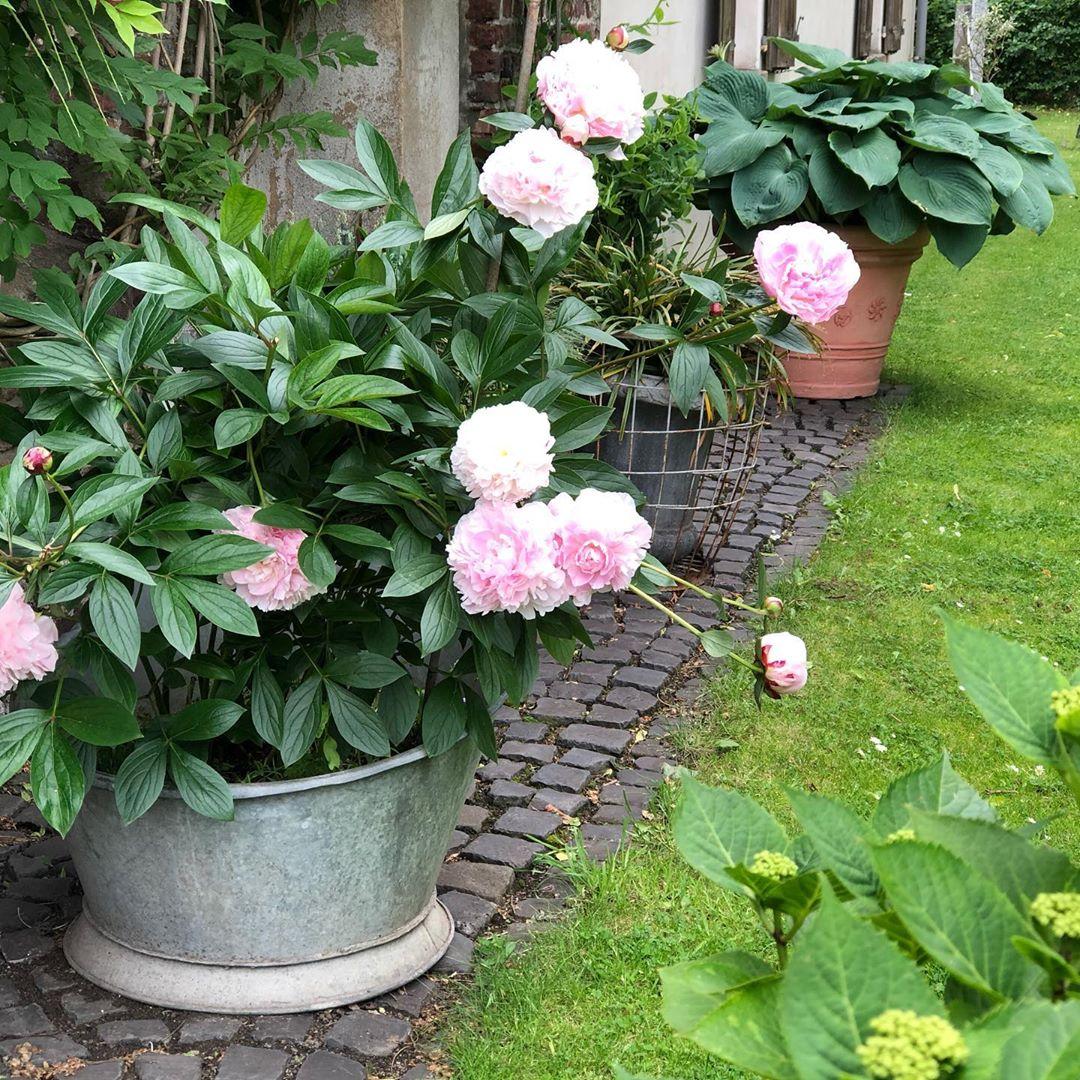 Jetzt sind meine #pfingstrosen auch voll da ! Passend zum #pfingstwochenende 🌸🌸🌸 #garden #gartenzeit #garten #gartenliebe #gartengestaltung #gartenideen #gartendeko #gardening #gardendesign #flowerpower