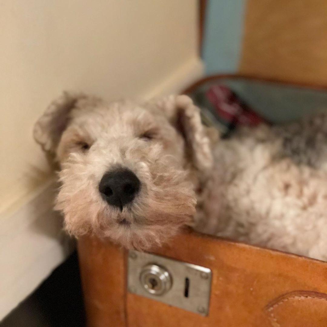 Bruni ist #hundemüde #sleepingdog #foxterrier #foxinternational #wirefoxterrier #wirefoxterriersofinstagram #instadog #struppi #cute #cuteanimals #familydog #foxi #dog #dogstagram #dogphotography