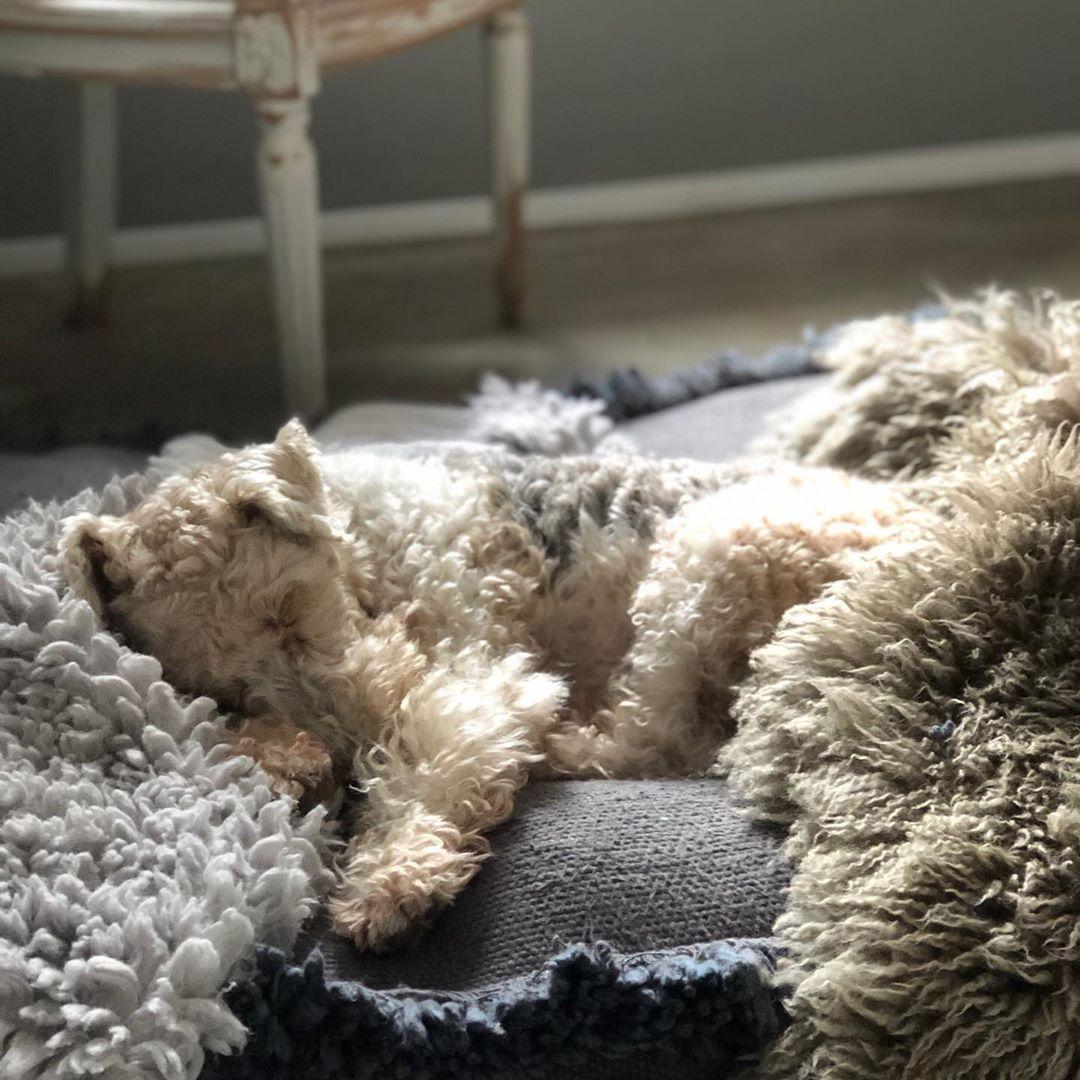 Unser Brunilein, verschmolzen mit #fell und #decke 🤎 #foxterrier #foxterriers #foxterrierwire #foxterrierlovers #foxterrier_official #familydog #dog #dogsofinstagram #doglover #dogphotography #doglife #bruni #foxterrierbruni #wearefamily