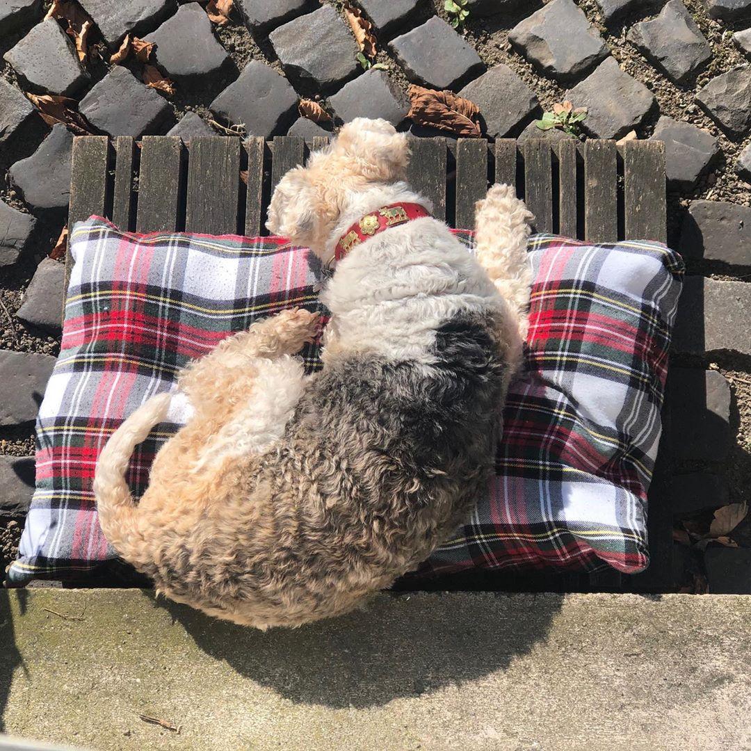 Bruni nimmt ein #sonnenbad , dass mache ich auch gleich ! #sundayvibes #sunisshining #foxi #foxterrier #foxterrier_official #foxterrierlovers #foxterrierwire #foxterriersofinstagram #familydog #bruni #check #appenzellerhalsband #sleepingdog